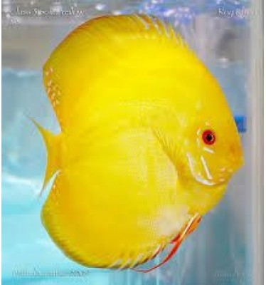 Cá đĩa bồ câu vàng size 8