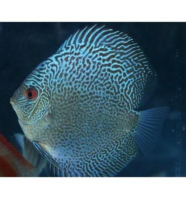 Cá đĩa xanh da rắn size 8