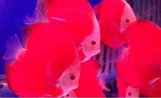 Cá đĩa đỏ