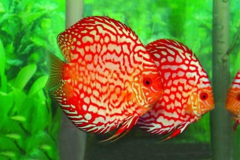 Cá đĩa bồ câu đỏ size 10